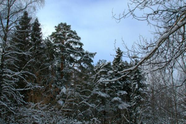Этюд соснового леса