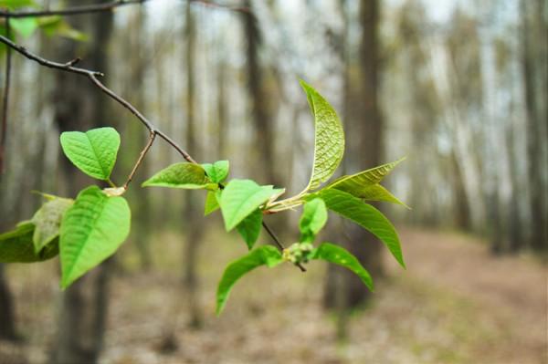 Аромат весенних листьев
