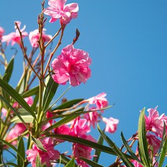 Цветет олеандр (Сочи, Дендрарий)