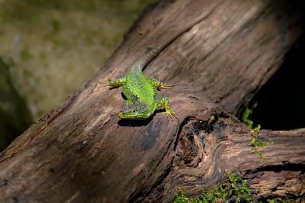 Маленький зеленый крокодил